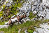 Alps goat — Stock Photo