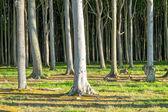 Background of some beech trees — Zdjęcie stockowe