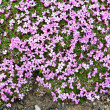 Purple flowers in Iceland — Stock Photo #77116107