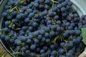 Wine Grape — Stock Photo
