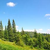 Beautiful pine trees — Zdjęcie stockowe