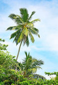 High palm on background of blue sky — Stock Photo