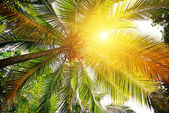 Sunlight through the leaves of palm trees   — Stock Photo
