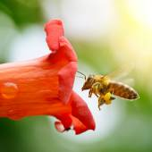 Honey bee — Stock fotografie