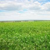 Pea field and blue sky — Stock Photo