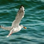 Seagull with food in beak — Stock Photo #66417331