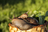 Two snails hug in basket — Stock Photo