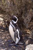 パタゴニアのマゼラン ペンギン — ストック写真