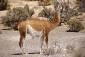 Guanaco in Patagonia — Stock Photo