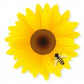 Sunflower and bee isolated on white background. — Stock Vector