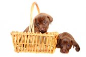 Brown Pups — Stock Photo