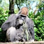Gorilla — Stock Photo #64914045