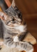 Domestic young short-haired whiskered cat sitting and looking — Stock Photo