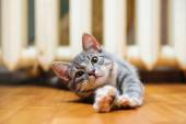 Domestic lazy short-haired young whiskered cat lying and stretch — Stock Photo