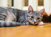 Lie down domestic lazy short-haired young whiskered cat — Stock Photo