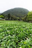 Calla lily garden — Stock Photo