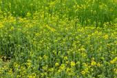 Rape flower field — Stock Photo