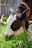 Young cow eats green grass  — Stock Photo
