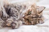 Cute little gray cat resting  — Stock Photo