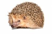 Hedgehog Isolated — Stock Photo