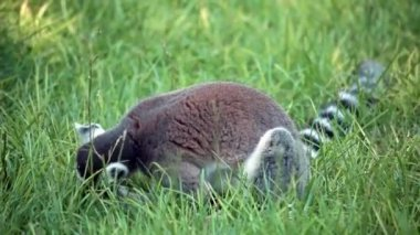 Ring-Tailed Lemur In The Grass (Lemur Catta) — Stock Video