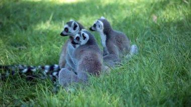 Group Of Ring-Tailed Lemurs (Lemur Catta) — Stock Video