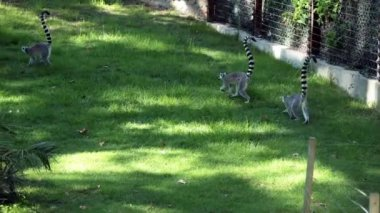 Three Lemurs (Lemur Catta) Playing — Stock Video