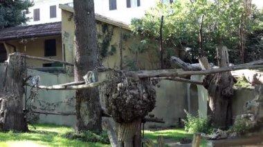 Ring-Tailed Lemurs (Lemur Catta) Playing — Stock Video