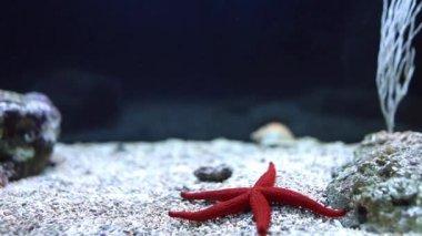 Red Sea Star (Fromia milleporella) — Stock Video