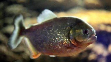 Predator Fish: Piranha — Stock Video