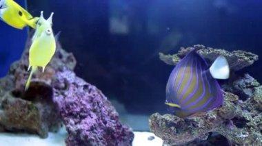 Angelfish (Pomacanthus annularis) And Longhorn Cowfish (Lactoria Cornuta) — Stock Video