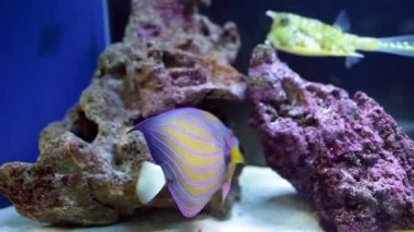 Fish Tank With Angelfish And Longhorn Cowfish — Stock Video