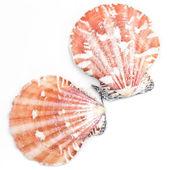Atlantic Calico Scallop Shell (Argopecten Gibbus) — Stock Photo