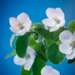 Spring blooming apple tree — Stock Photo #56258823