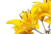Beautiful blooming lily — Stock Photo