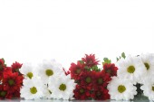 Red and white chrysanthemums — Stock Photo