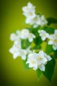 Jasmine — Stock Photo