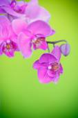 Beautiful purple phalaenopsis flowers — Fotografia Stock