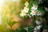 Beautiful blooming branch of jasmine outdoors — 图库照片