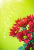 Beautiful red flowers of chrysanthemum  — Stock Photo