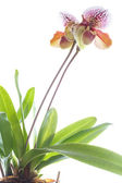 Lady's slipper orchid — Stock Photo