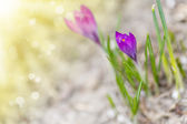 Spring blooming crocus in the sun  — Stock Photo