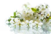 Plum flower — Stock Photo