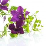 Beautiful blooming clematis — Stock Photo #76269451