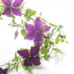 Beautiful blooming clematis — Stock Photo #76269463