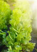 Growing lettuce from the ground — Stock Photo