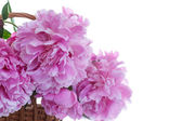 Beautiful pink peonies — Stock Photo