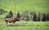 Skewbald cow on a cow paddock with some trees in the back — Stock Photo