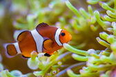 Clown fish in coral reef — Stock Photo