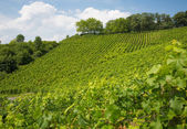 Vineyard on hill in Nordrhein-Westfalen, Germany — Stockfoto